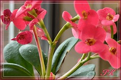 Pink  Window Blooms