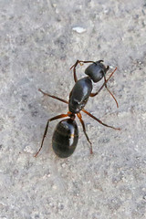 Messor capensis
