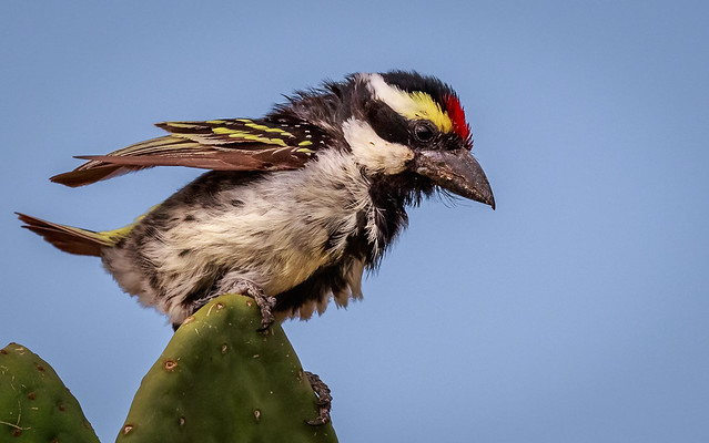 Africa Pied Barbet