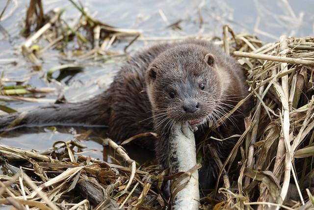 River Don, Otter ( Explore )
