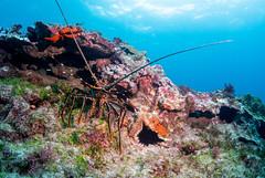 Panulirus longipes lobster
