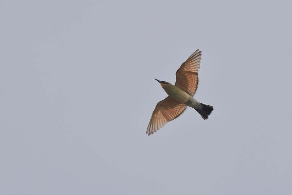Rainbow Bee -eater