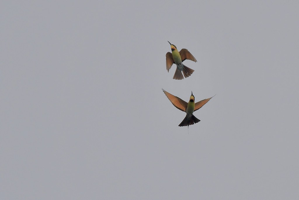 Rainbow Bee-eaters ( sharing time together )