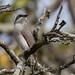 Sri Lanka Woodshrike (Tephrodornis affinis) (1)