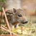 Baby wild boar, aka humbug