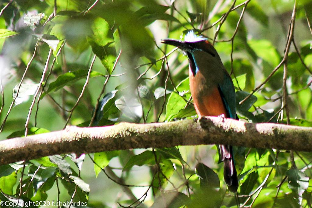 Jacamar à queue rousse_070321_Honduras