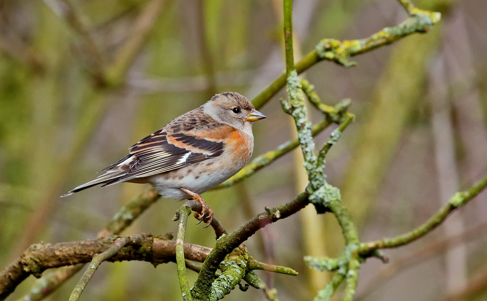 Brambling - female