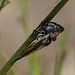 Robber Fly (Asilidae) with beetle prey