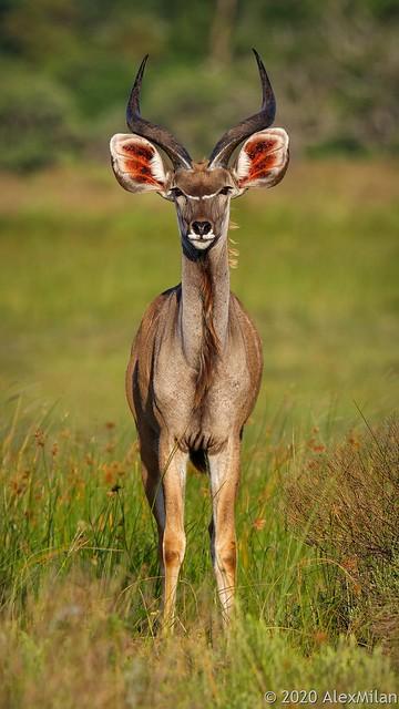 Grand koudou - Great Kudu