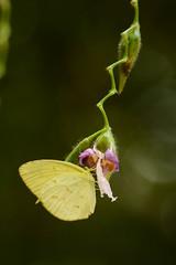 Eurema andersoni