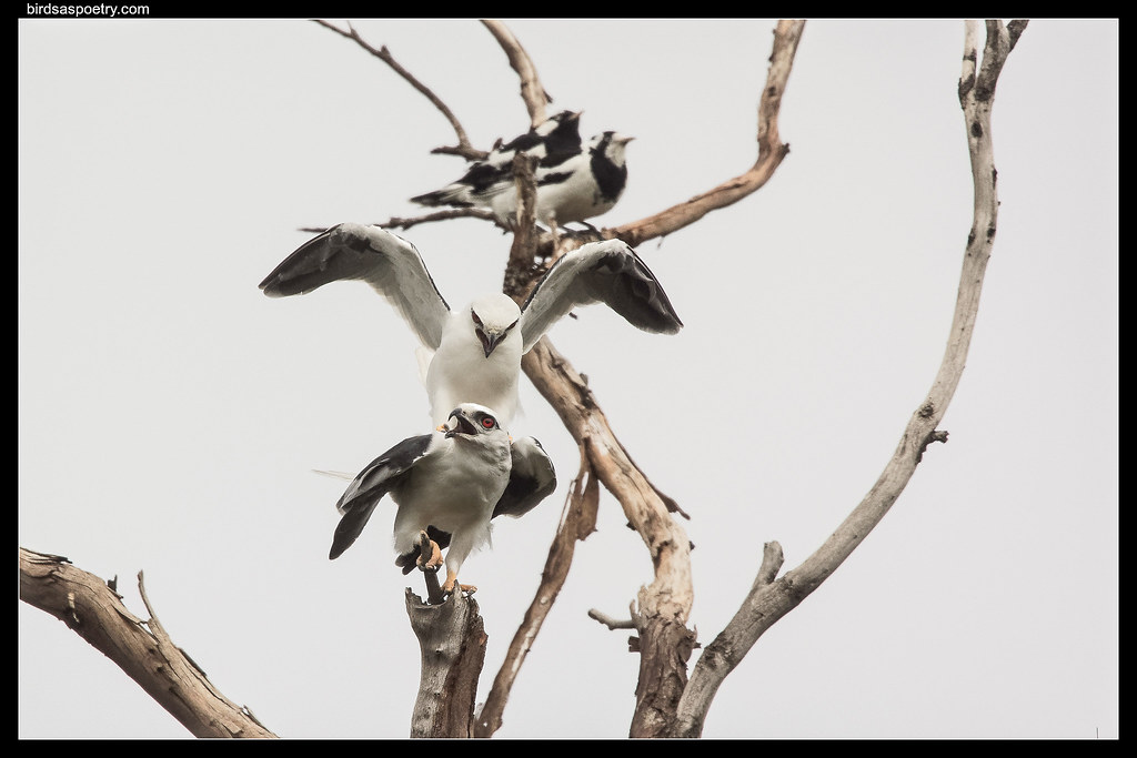 Black-shouldered Kite: Not while the Mudlarks are Watching!