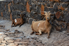 Les biquettes à l'ombre Cap Vert_5057
