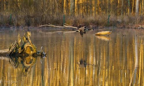 virginia action background bird flight huntleymeadows landscape light reflection sunrise water wildlife winter