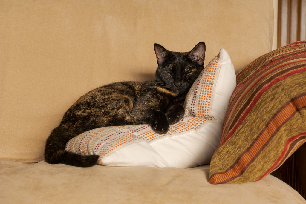 Our cat Trixie sleeps on two pillows on top of the futon in our house in Scottsdale, Arizona in February 2020