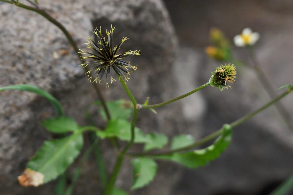 Verblüht - Behaarter Zweizahn - La Gomera
