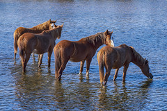 Wild horses of Salt River, Arizona