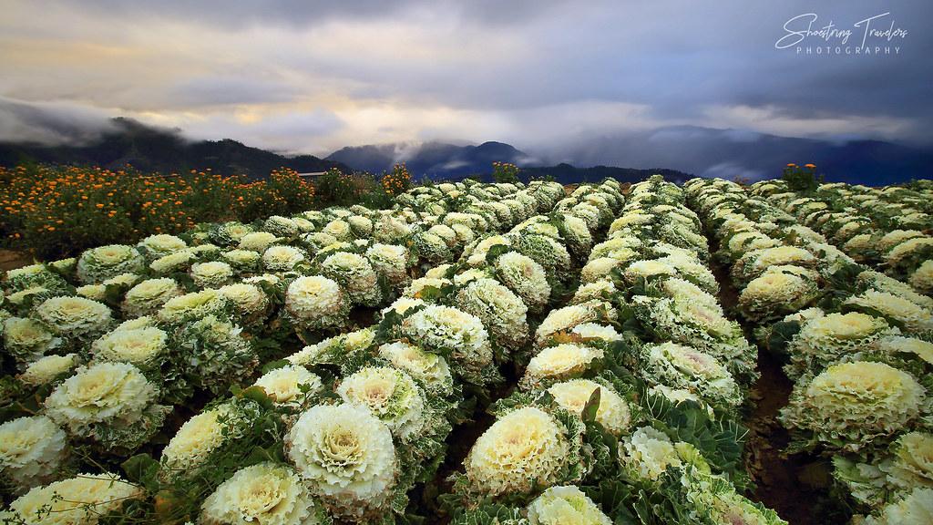 cabbage roses at sunrise, Northern Blossom Farm, Atok, Benguet