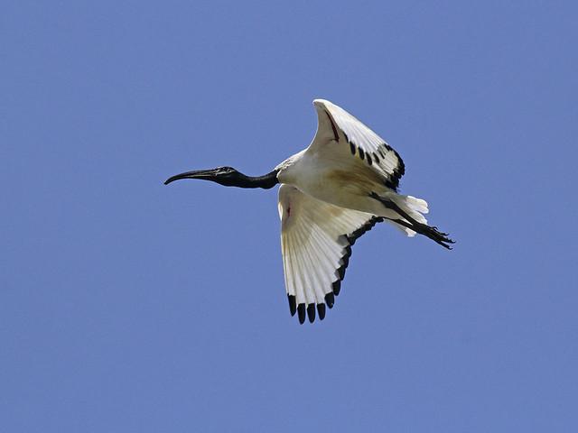 Threskiornis aethiopicus / Ibis sacro / African ibis
