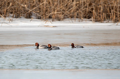 Redheads in the Marsh