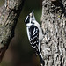 850_3201.jpg=022320 Downy Woodpecker