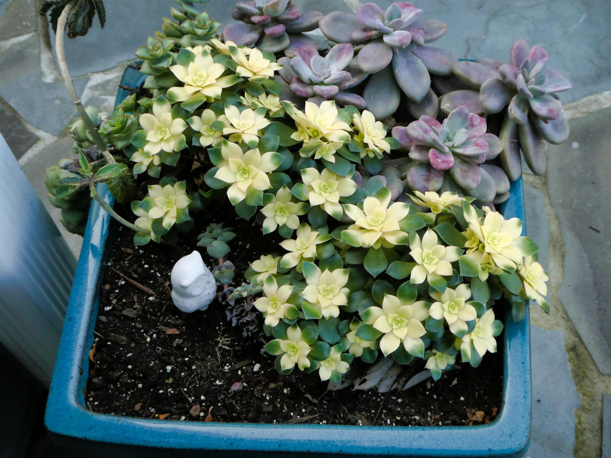 2020-02-27 Cacti in Bloom (4/8)