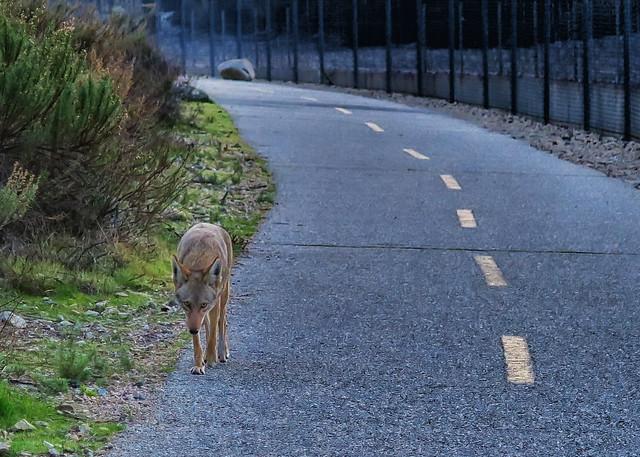 Coyote Path