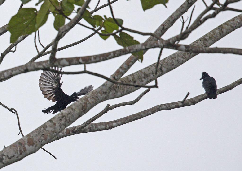 amazonian umbrellabird pair