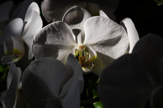 The Orchid Show...