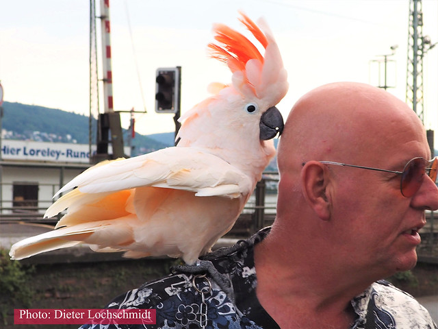 Tourist with Cockatoo in Ruedesheim on the River Rhine in Germany