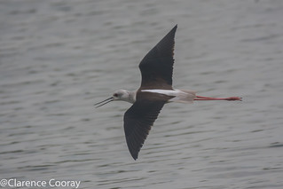 DSC_5806 (Black winged Stilt)