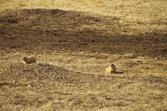 Prarie Dogs at Wind Cave NP