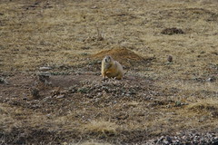 Prarie Dog at Wind Cave NP