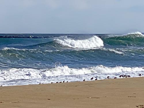 ocean surf beach sanderlings sandpipers fafm