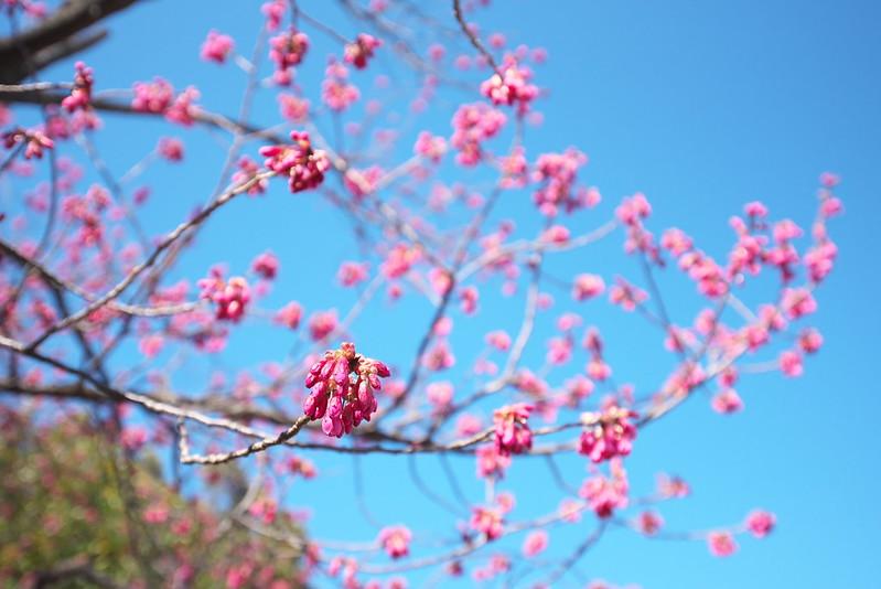 南千住 汐入公園の桜