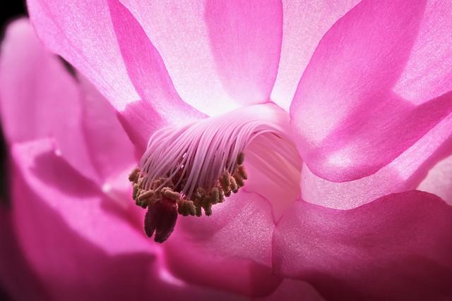Schlumbergera In Pink