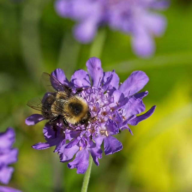 Eastern Bumble Bee on Pincushion Flower