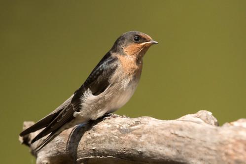 hirundoneoxenaneoxena hirundoneoxena hirundo neoxena welcomeswallow welcome swallow immature richmondlowlands richmond nsw australia leastconcern
