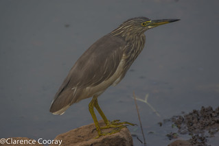 DSC_5836 (Indian Pond Heron)
