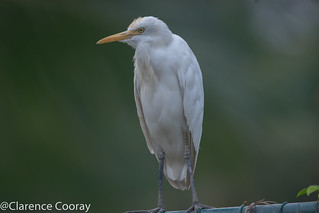 DSC_5816 (Cattle Egret)