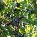 *) Star im Zwetschgenbaum