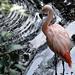 Colchester Zoo: Chilean Flamingo