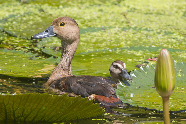 Lesser Whistling Duck with chick