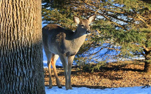 white-tailed deer doe at Lake Meyer Park IA 653A5939