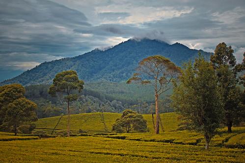 tea landscape panorama scenery agriculture mountain sky sukawana plantation rural