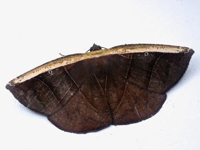Cimicodes ferruginea, Geometridae