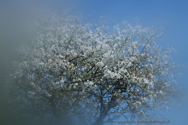 Cerisier au printemps