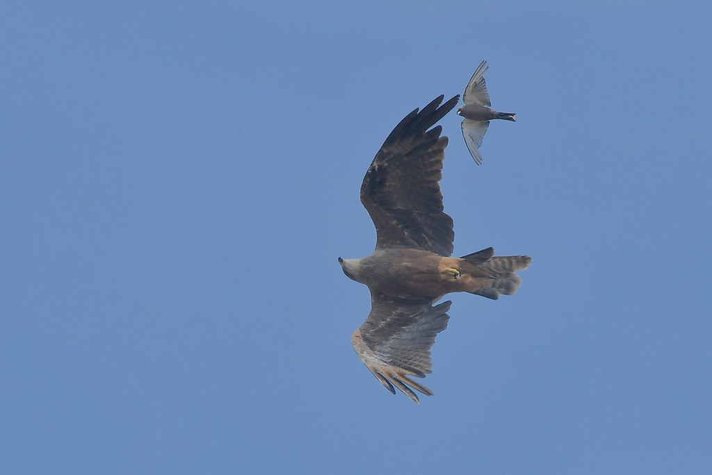 Black kite and Dusky Woodswallow