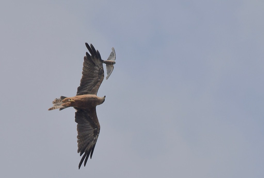 Black kite and Dusky Woodswallow (  let me show you the way )
