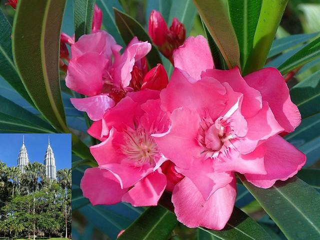 Garden Pink. Oleander, Nerium oleander, KLCC Park, Kuala Lumpur, Malaysia