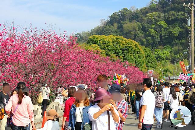 2020泰安櫻花季